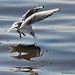Seagull in action ( Explore & FP) by Moysis