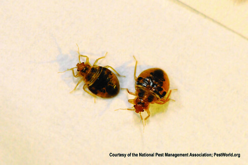 Bed Bug Nymphs