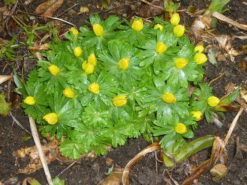 Grow Eranthis Or Winter Aconites Gardeners Tips