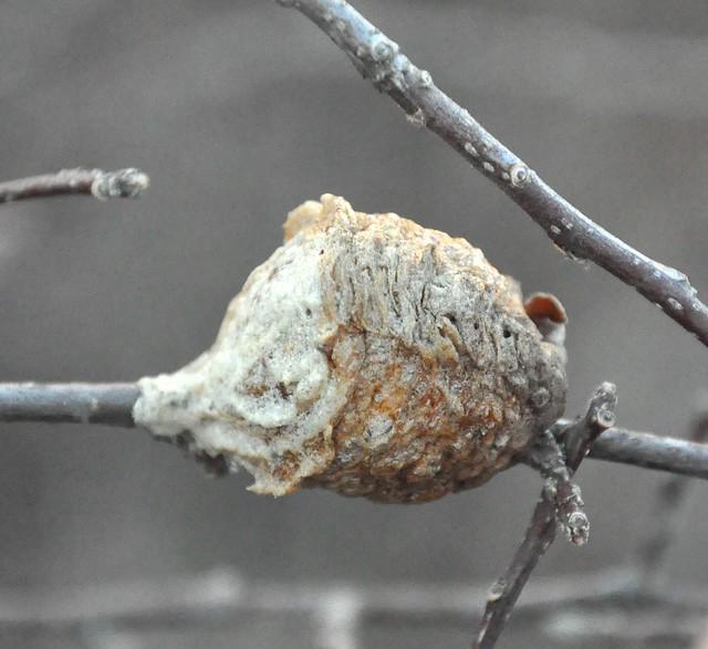 Praying Mantis Eggs Chinese Praying...