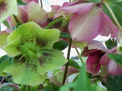 flower, plant, hellebore, wildflower, flora, petal,