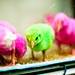 Colorful chicks by Omar Chatriwala