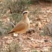 Cream-coloured Courser (Simon Woolley)