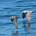 Pink-footed Shearwater and Western Gull (Peter Dunn)