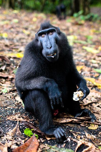Manado Indonesia Sulawesi black monkey