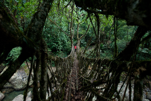 At over 30m long, Ritymmen bridge is the longest living root bridge