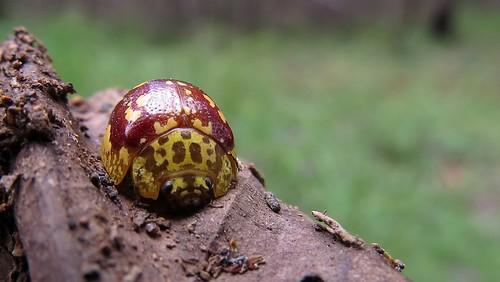 leaf beetle face