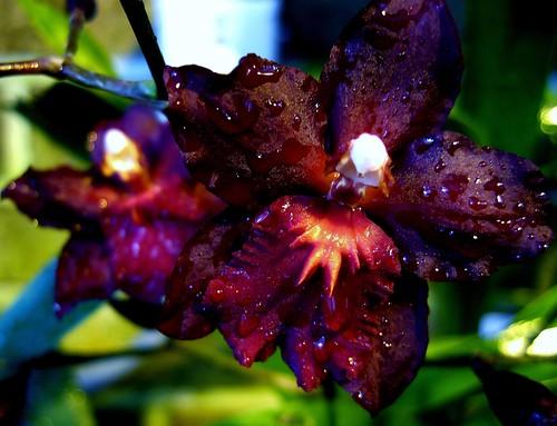 Wilsonara Red Pacific 'Deep Shadows' HCC/AOS