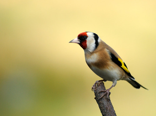 Goldfinch ~ Explored ~