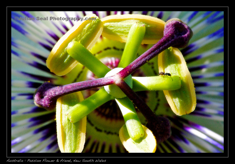 Australia Passion Flower Australia Postcards C Julian Se Flickr