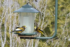 branch, fauna, bird feeder, bird, wildlife,