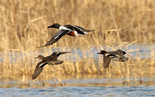 2011_02_03 NM - Shoveler and Teals by HibernoManchego