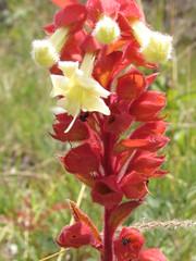 gladiolus(0.0), flower(1.0), plant(1.0), flora(1.0), snapdragon(1.0),