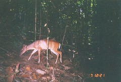 Bornean Yellow Muntjac