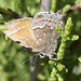 Thorne's hairstreak butterfly on Tecate cypress