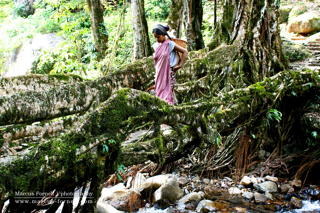 Meghalaya Living Root Bridge in Cherrapunji