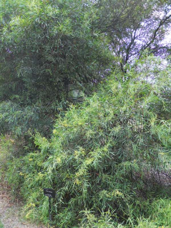 Acacia retinodes v 2