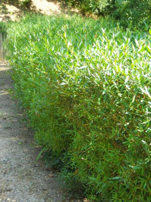 Phillyrea angustifolia v 1