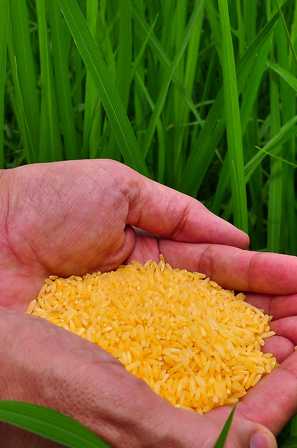 Golden Rice grain (9)-16 | Flickr - Photo Sharing!