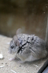 animal, rodent, fauna, whiskers, gerbil,