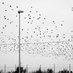 The Birds (3)