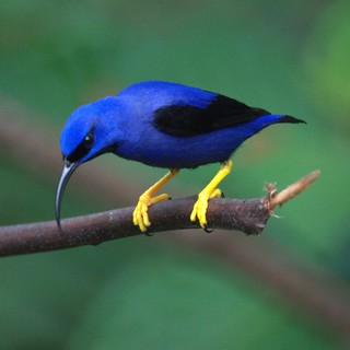 Purple Honeycreeper (male )