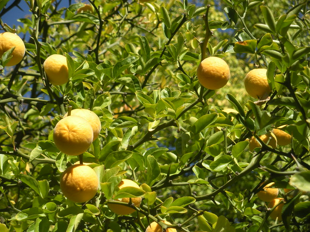Trifoliate Orange (Poncirus trifoliata, syn. Citrus trifoliata)