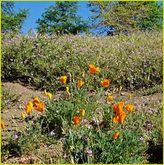 California Poppies, Oak Glen 4-12-14c
