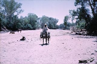 Pack Saddles into Bluebush - 1969