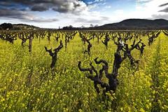 Sonoma County Mustard Crop #3