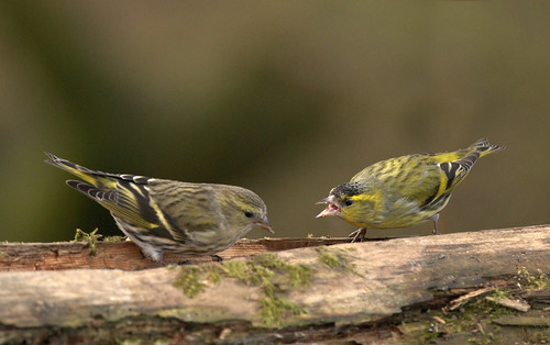 Mr & Mrs. Siskin!