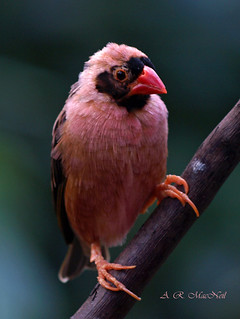 Strawberry Finch 1- Vancouver, British Columbia