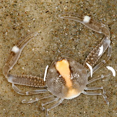 Long arms sand crab