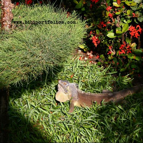 Iguana de Cozumel