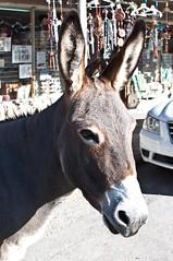 halter(0.0), animal(1.0), donkey(1.0), mule(1.0), pack animal(1.0), fauna(1.0),