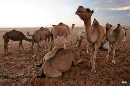 Troupeaux Chameaux Desert Mauritanie 1