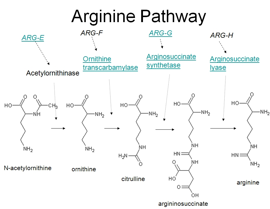 arginine sythesis pathway Arginine is a type of multi-functional amino acid involved in the synthesis of many metabolites • many tumors have abnormalities in arginine metabolism and thus rely on extracellular arginine to maintain rapid tumor growth.