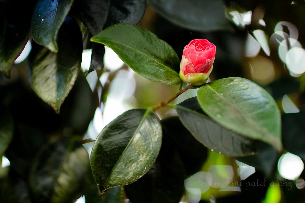 backyard camellia - 2