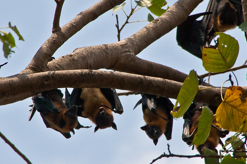Cambodian Flying Foxes