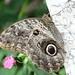 Owl Butterfly (John Caddick)