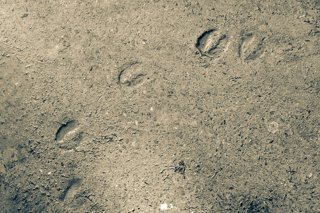 Footprints of a cow | Flickr - Photo Sharing!