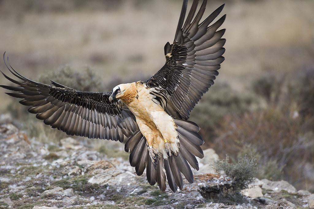 Орел бородач способ охоты