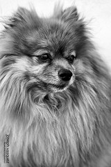 dog breed(1.0), animal(1.0), german spitz klein(1.0), dog(1.0), pet(1.0), volpino italiano(1.0), german spitz(1.0), keeshond(1.0), monochrome photography(1.0), german spitz mittel(1.0), monochrome(1.0), carnivoran(1.0), black-and-white(1.0), pomeranian(1.0),