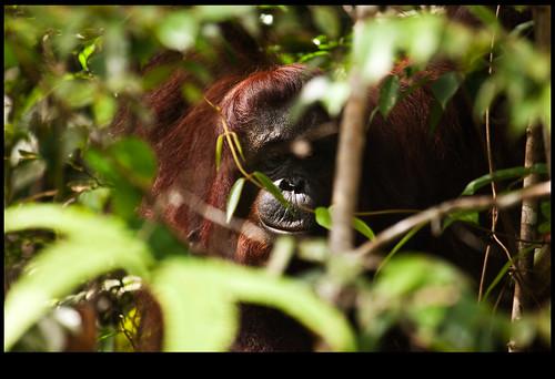 en malayo orangutan significa el hombre de la selva.