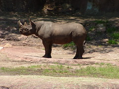 animal, rhinoceros, fauna, wildlife,