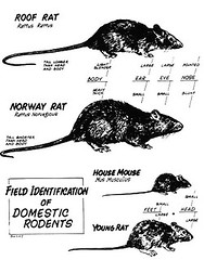 Exif The Difference Between A Rat And A Mouse Flickr