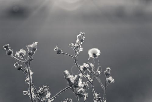 flowers sunset bw sunlight blur flower blackwhite ray glare bokeh background edge flare 2011 24105mm 50d