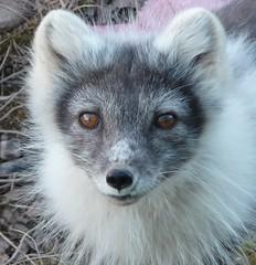 arctic fox(0.0), raccoon(0.0), animal(1.0), german spitz(1.0), mammal(1.0), fauna(1.0), whiskers(1.0), procyonidae(1.0), wildlife(1.0),