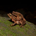 Small photo of Rhinella alata - leaflitter toad amplexus