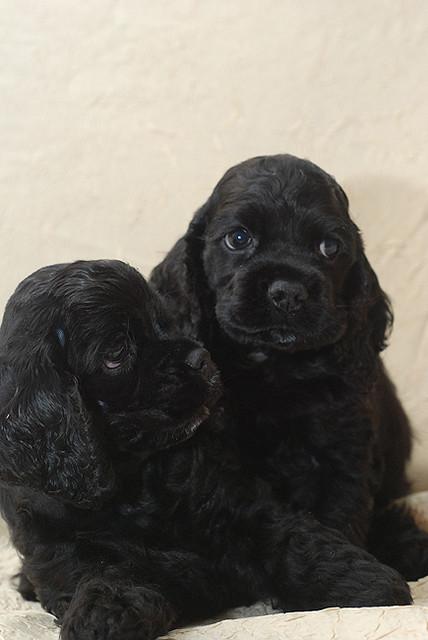 American cocker spaniel puppies - photo#14